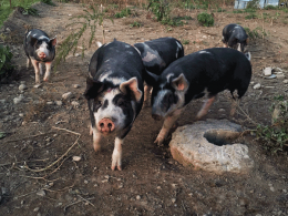 pigs-gallery