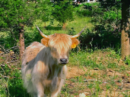 single-cow